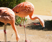 Greater Flamingoes Stock Photos