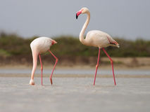 Greater Flamingoes. Phoenicopterus roseus in Camargue royalty free stock photos