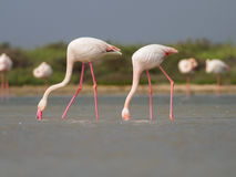 Greater Flamingoes Stock Image