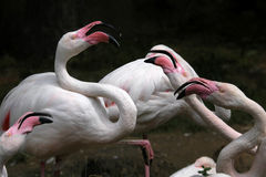 Greater flamingoes Royalty Free Stock Photo