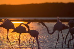 Greater Flamingoes Royalty Free Stock Image