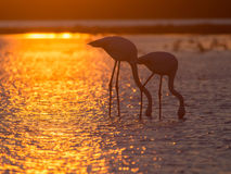 Greater Flamingoes Royalty Free Stock Photography
