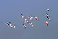 Greater Flamingos Stock Photos