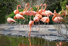 Greater Flamingos. In park Avifauna, the Netherlands Royalty Free Stock Images