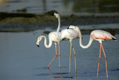 Greater Flamingos in Bahrain Stock Images