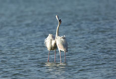 Greater Flamingos Royalty Free Stock Photo
