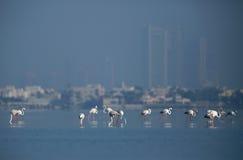 Greater Flamingos Royalty Free Stock Image