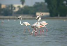 Greater Flamingos Stock Photo