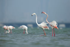 Greater Flamingos Royalty Free Stock Image