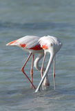 Greater Flamingos Stock Photos