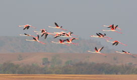 Greater flamingos Stock Photography