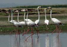Greater Flamingos. Bird Sanctuary India- Photo taken in shallow water body at Bhigwan Royalty Free Stock Photo