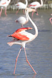 Greater Flamingos of Camargue France Royalty Free Stock Photos