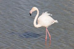 Greater Flamingos of Camargue France Stock Image