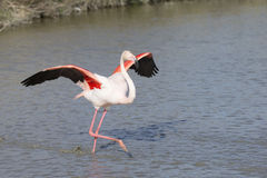 Greater Flamingos of Camargue France Stock Photography