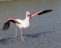 Greater Flamingos of Camargue France Stock Photo