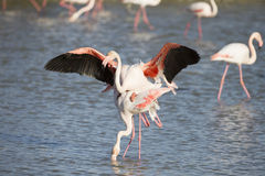 Greater Flamingos of Camargue France Stock Images