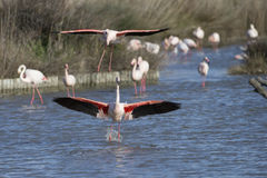Greater Flamingos of Camargue France Royalty Free Stock Photo