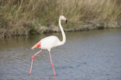 Greater Flamingos of Camargue France Royalty Free Stock Image