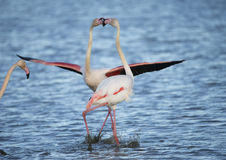 Greater Flamingos of Camargue France Stock Photos