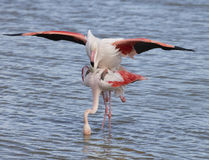 Greater Flamingos of Camargue France Royalty Free Stock Images