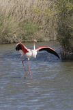 Greater Flamingos of Camargue France Royalty Free Stock Photos