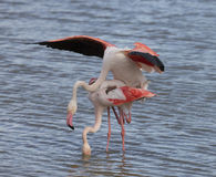 Greater Flamingos of Camargue France Royalty Free Stock Photography