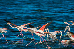 Greater flamingos. Cape Town, South Africa Stock Images