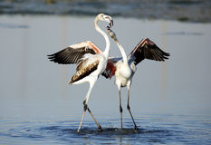 Greater Flamingos in courtship Stock Image