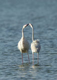 Greater flamingos  in courtship Stock Photography
