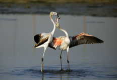 Greater Flamingos courtship Stock Images