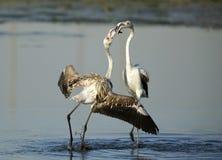 Greater Flamingos Courtship behavior Royalty Free Stock Photo