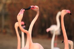 Greater flamingos Royalty Free Stock Photography