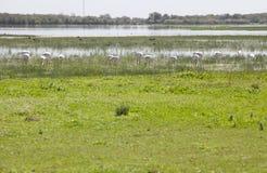 Greater flamingos on Donana Stock Image