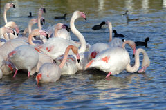 Greater flamingos and ducks. Group of greater flamingos and ducks in France, Camargue region, by a sunny day of winter stock photos