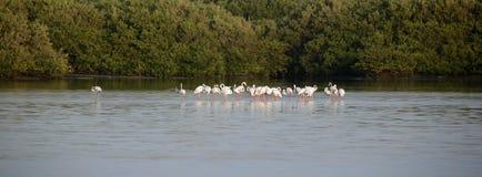 Greater Flamingos in Eker, Bahrain Stock Images