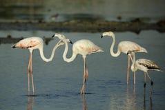 Greater Flamingos at Eker coast Royalty Free Stock Image