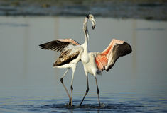 Greater Flamingos in Eker Royalty Free Stock Photo