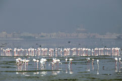 Greater Flamingos in Eker,  focus on the back flocks Stock Photos