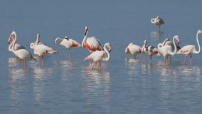 Greater flamingos - Etosha pan, Namibia stock video footage