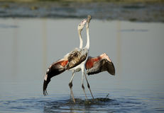 Greater Flamingos Stock Image