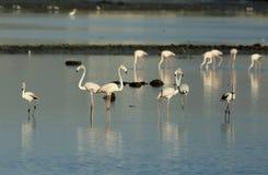 Greater Flamingos Royalty Free Stock Photos