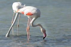 Greater Flamingos feeding Royalty Free Stock Images