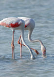 Greater Flamingos feeding Stock Photos