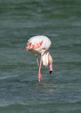 Greater Flamingos fetching food Stock Photography