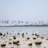 Greater Flamingos in flight over Salt Lake in Cyprus Royalty Free Stock Photography