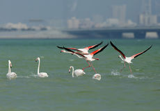 Greater Flamingos flying Royalty Free Stock Images