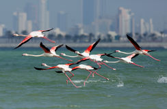 Greater Flamingos flying Stock Image