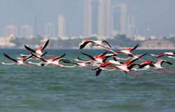 Greater Flamingos flying Stock Photography