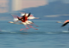 Greater Flamingos flying Stock Images